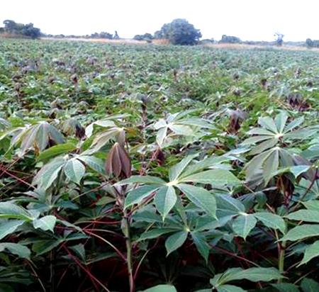 Mechanised Cassava Farm